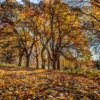 Fürstenhut - Die alten Ahornbäume am Weg bei Hüttel