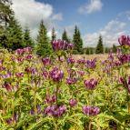 Der seltene Ungarische Enzian als Blumenwiese auf einer Waldlichtung im Nationalpark Bayerischer Wald