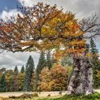 Alte Buche, Schachten - Nationalpark Bayerischer Wald